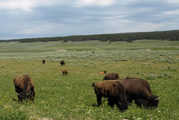 IUCN Yellowstone to Yukon Corridor, Yellowstone National Park, USA